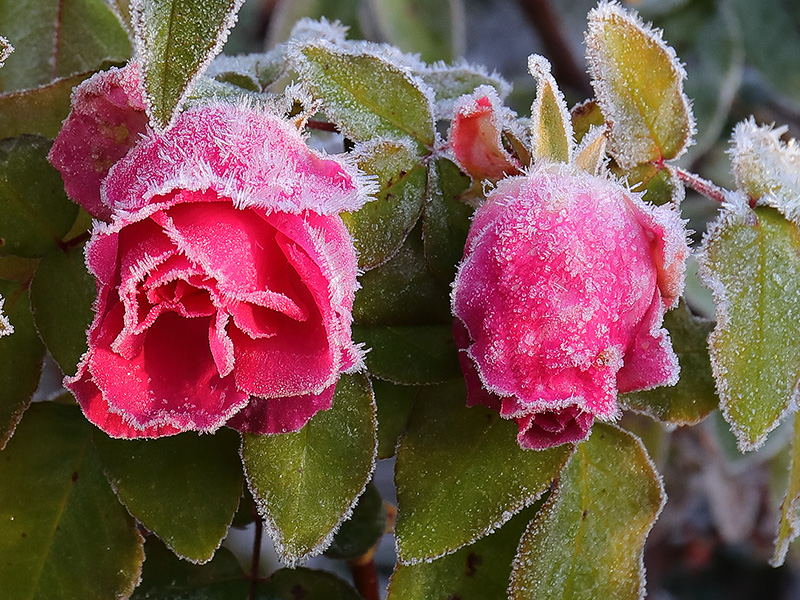 Frosted roses-3755