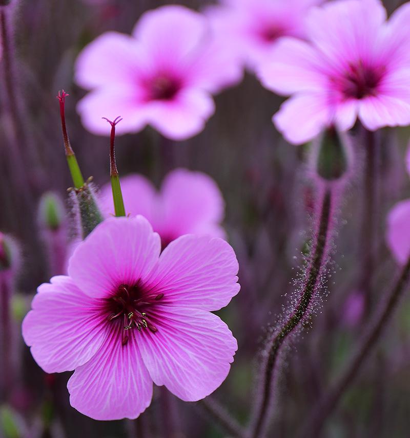 Geranium-pink-1244