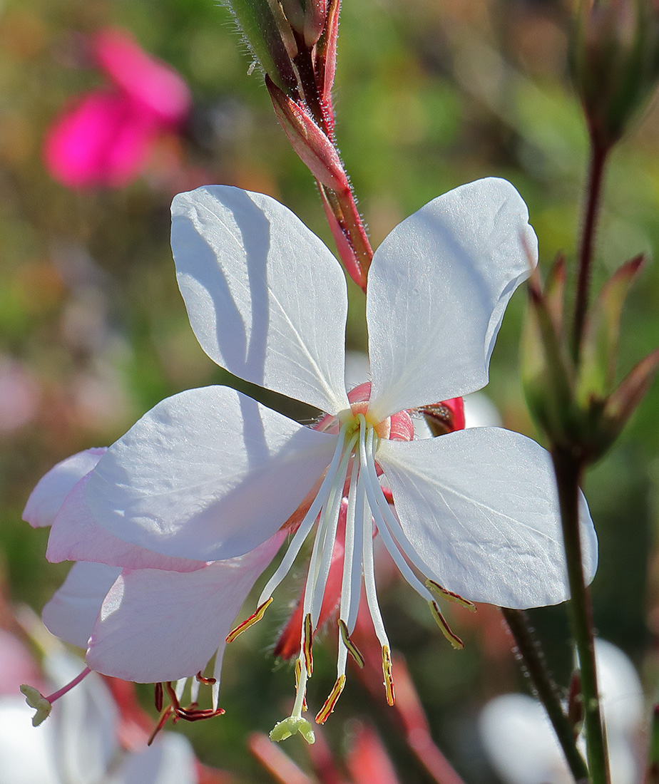 Flower of Gaura lindheimeri