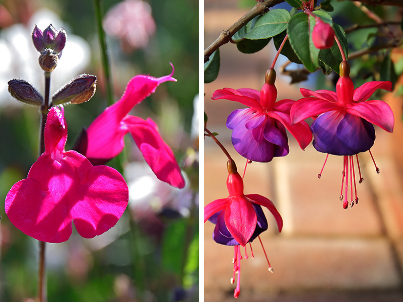 LC-salvia-fuchsia-2-up