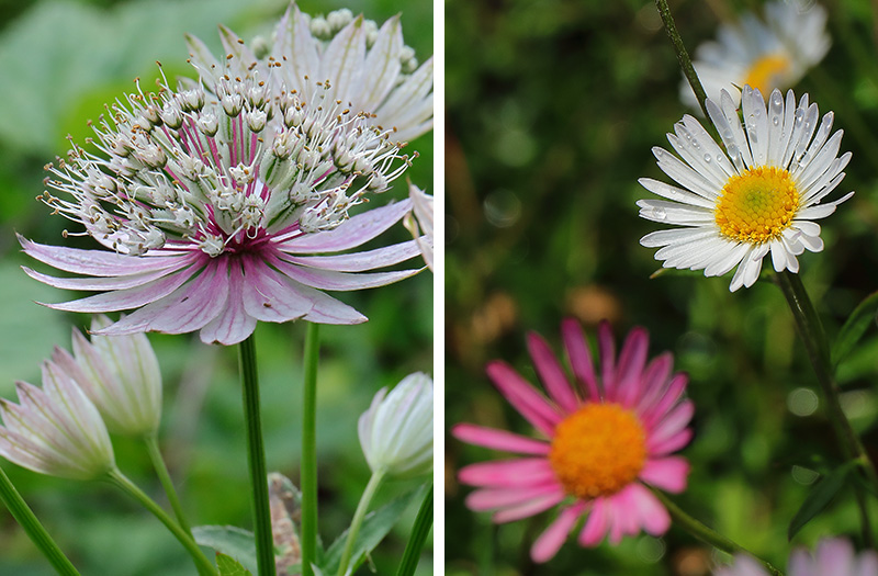 Left: Astrantia 'Florence' Right: Erigeron karvinskianus