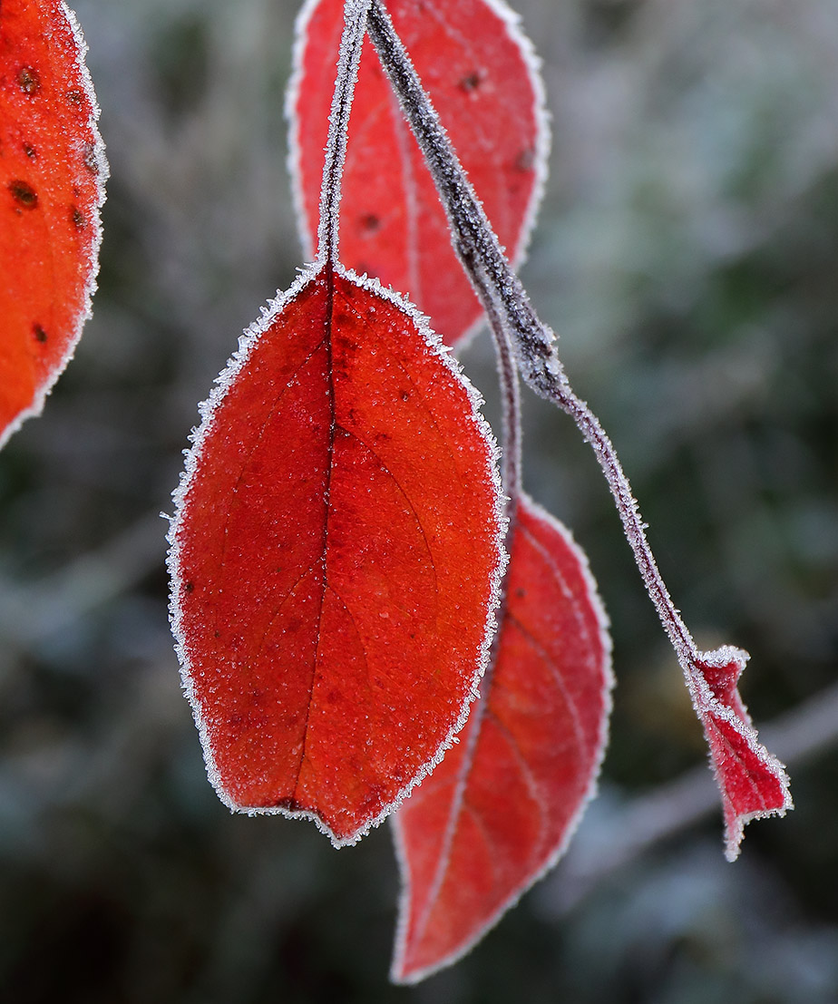 Frosted crab apple leaves.