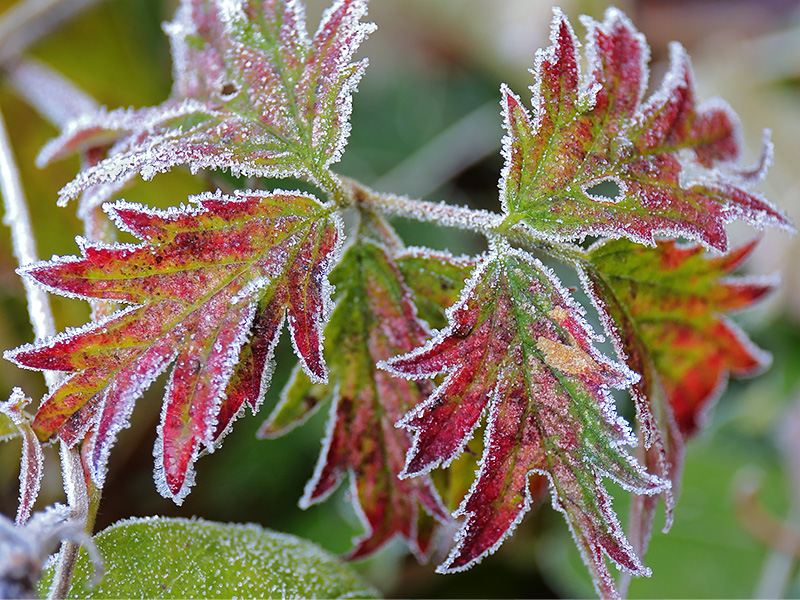 Frosted leaves-3780