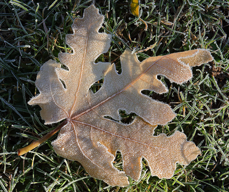 Frosted Fig Leaf-3827