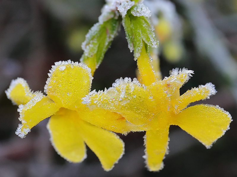Frosted winter jasmine-3959