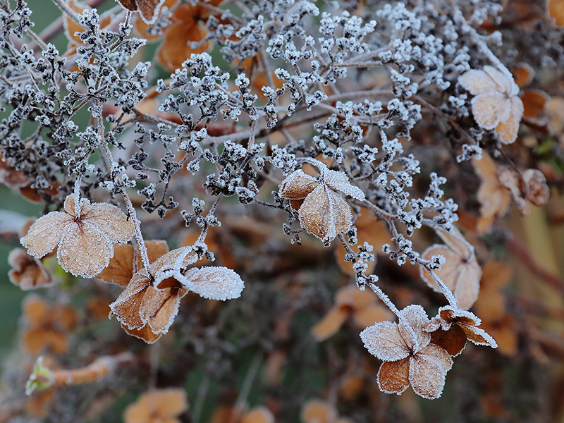 Frosted Hydrangea-3967