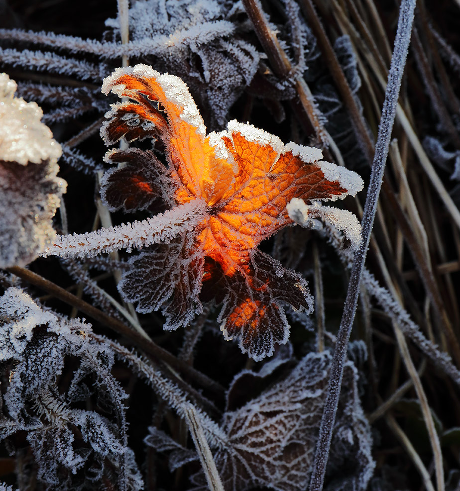 Frosted geranium leaf.