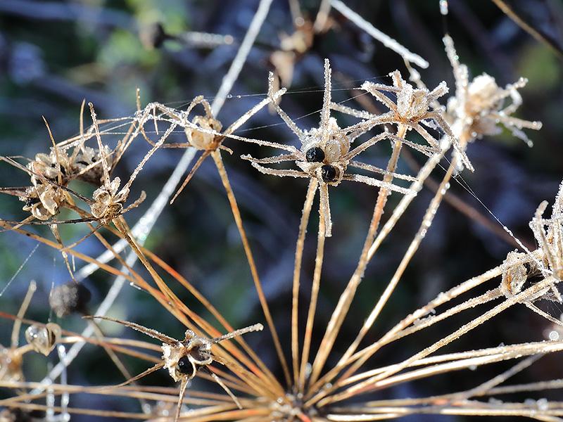 Allium-Seed-Head-4028