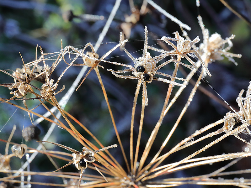 Allium-Seed-Head-4028