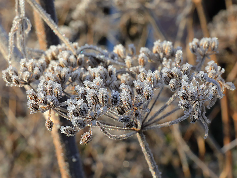 Frosted Fennel Head-3917