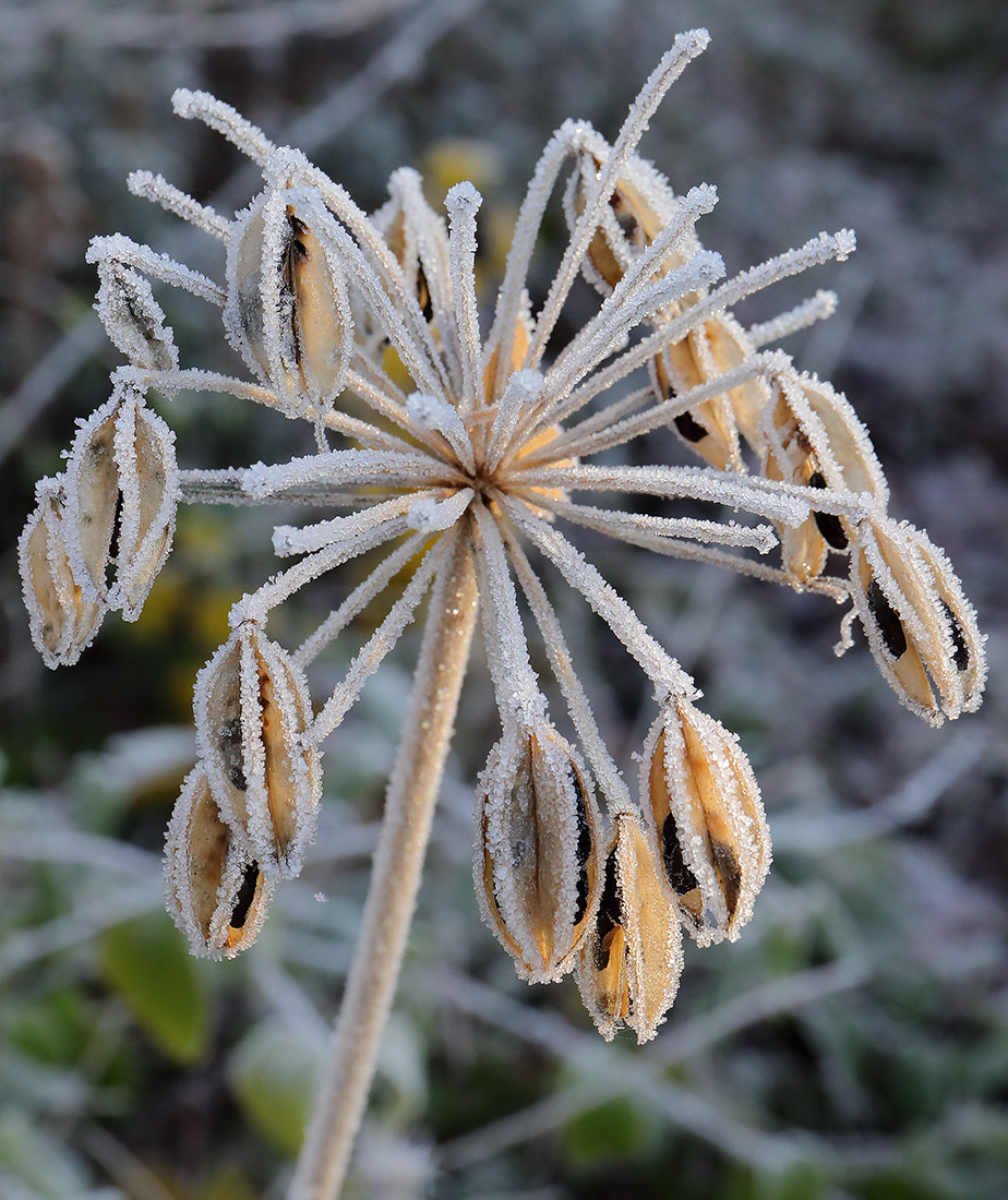 Frosted agapanthus seed head.