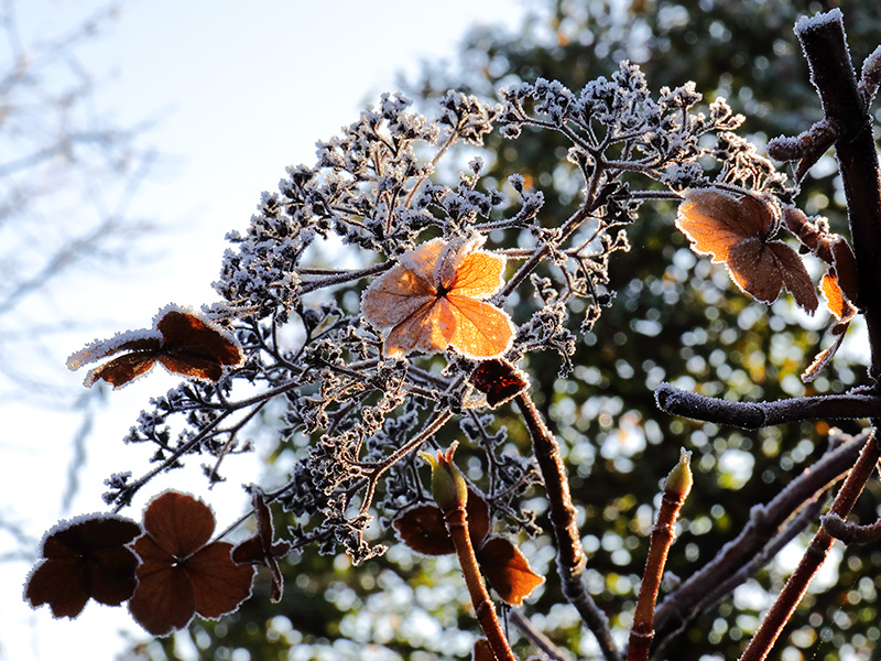 Frosted hydrangea-3965