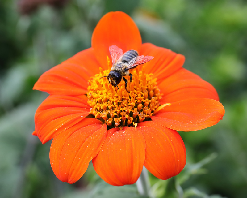 Bee on tithonia 2587