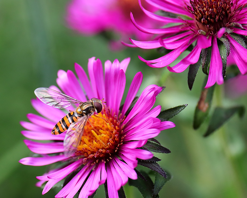 Hoverfly on aster 2468