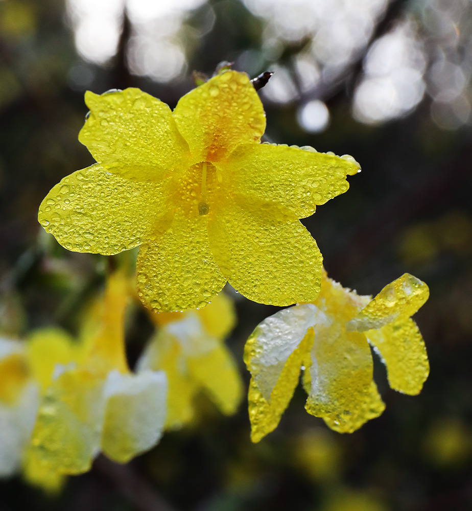 Yellow winter jasmine flowers.