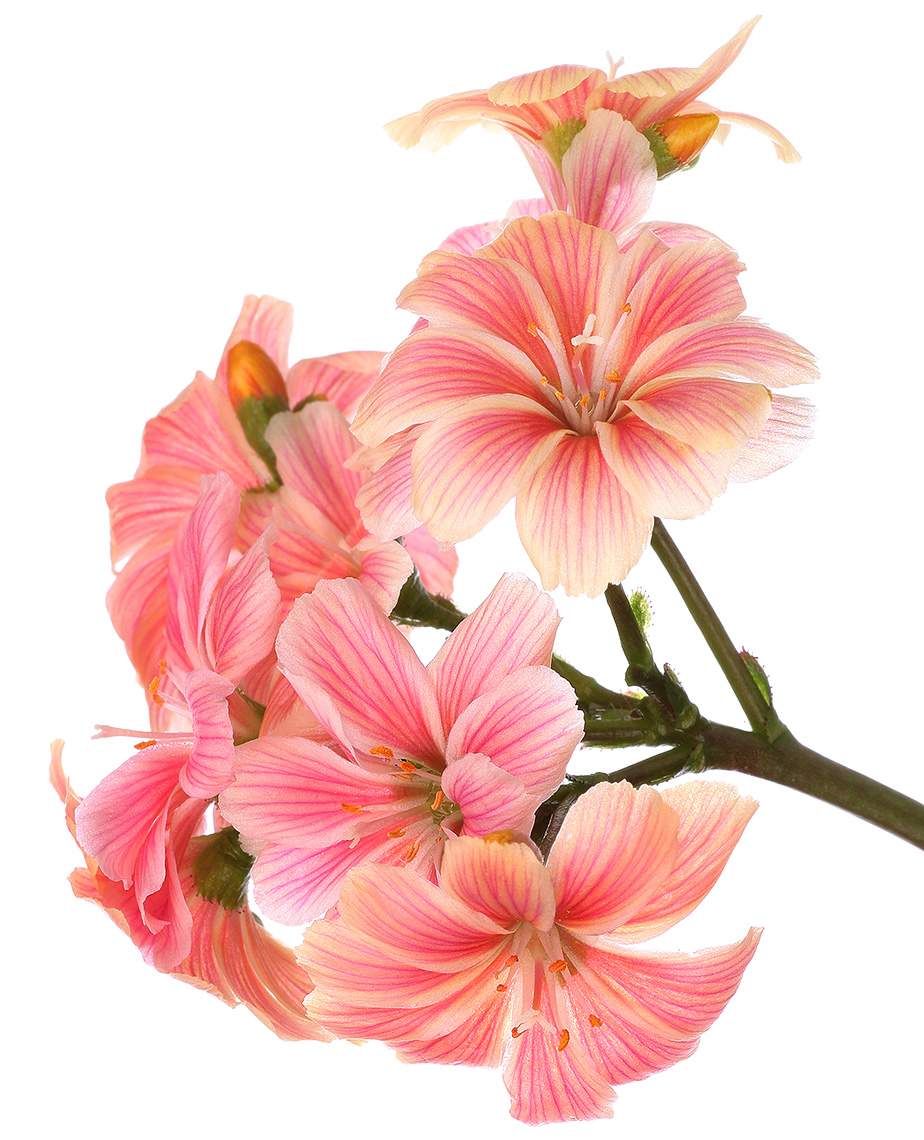 Remembered Colour: Lewisia