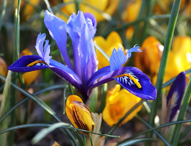 Iris and Crocus 4738
