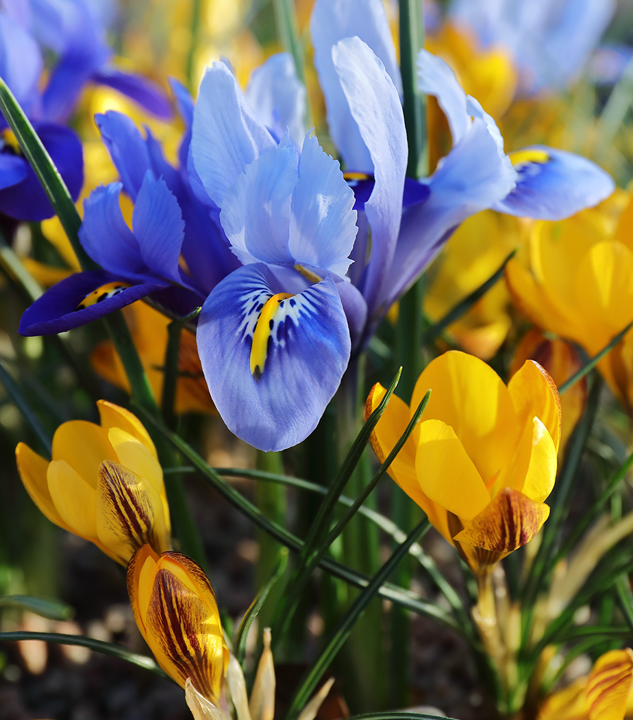 Spring Comes Closer : Irises and Crocuses