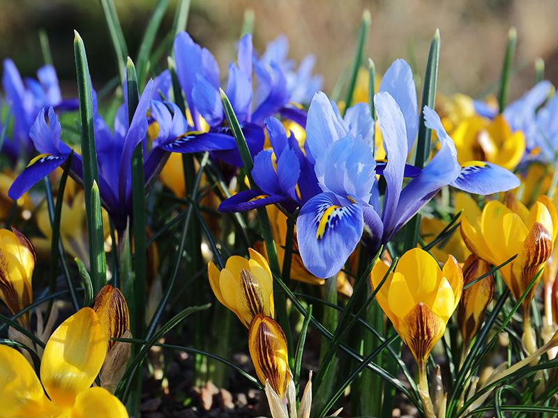 Irises and Crocuses 4744