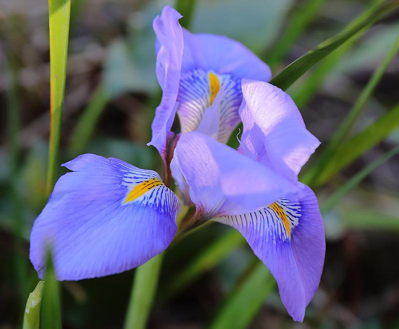 Iris unguicularis 4766