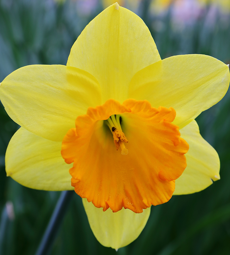 Close-up of a yellow and orange daffodil.