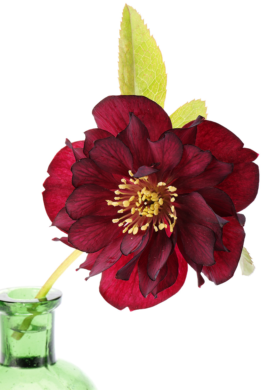 A dark red double hellebore.