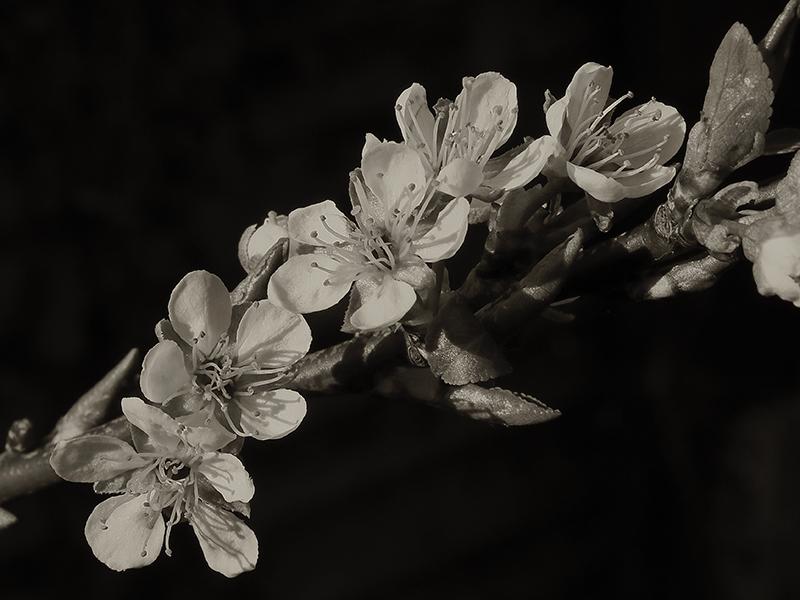 Plum Blossom-5017