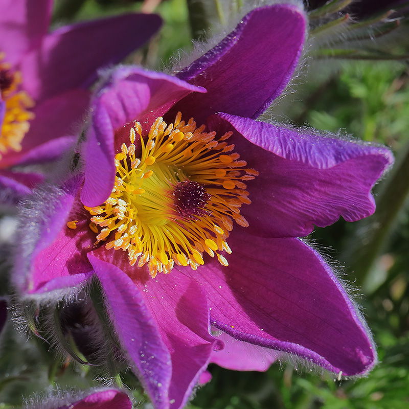 Pulsatilla vulgaris (purple pasque flower)
