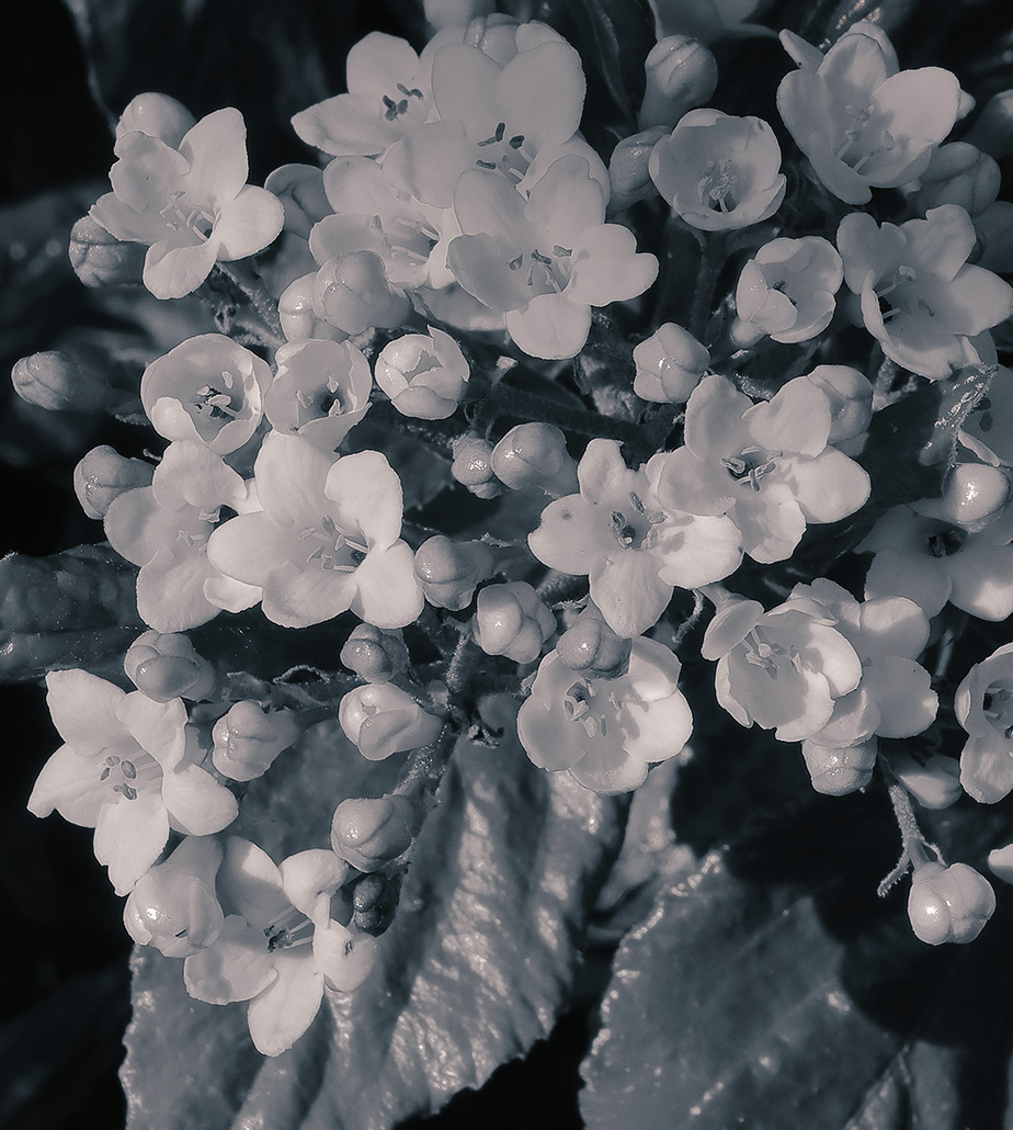 Viburnum flowers in black and white