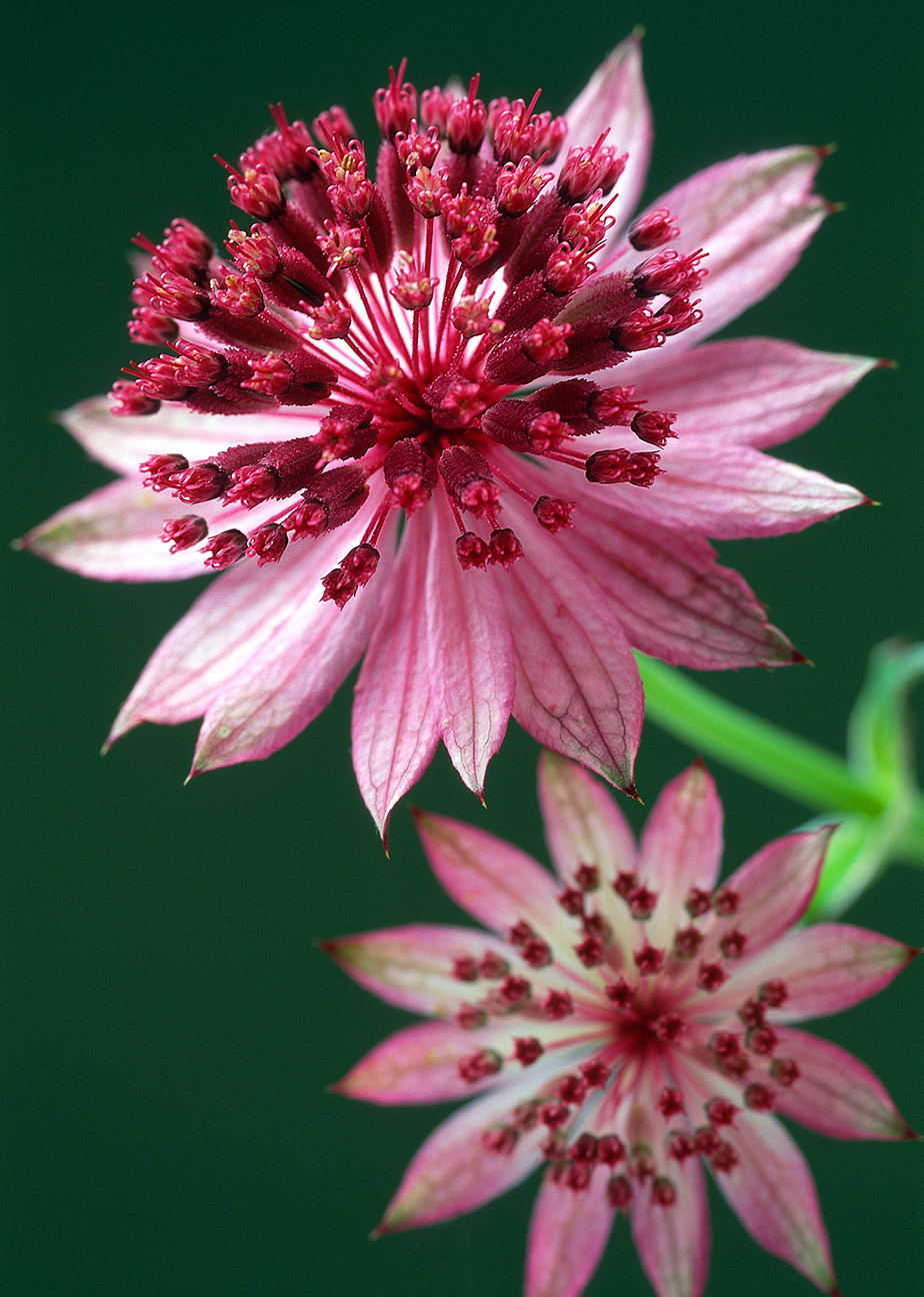 Astrantia – A Pretty Flower With An IntriguingPast