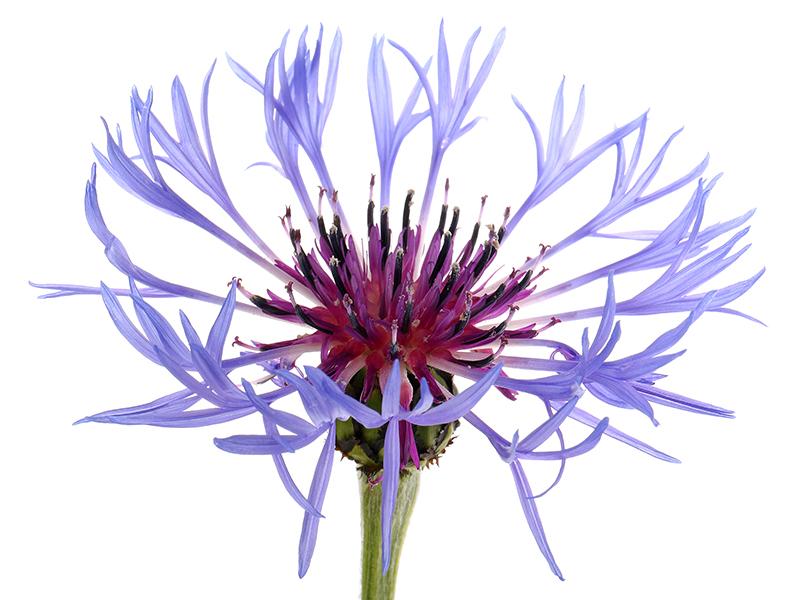 Centaurea monbtana 5494