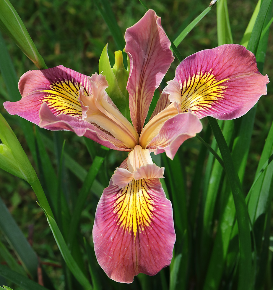 Irises: Intricately Beautiful