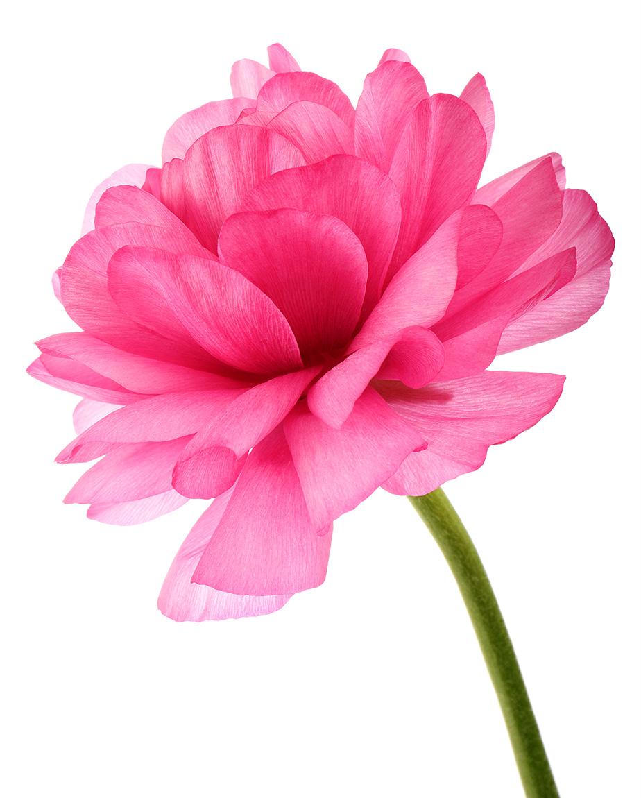 Ranunculus: Jewel Colours