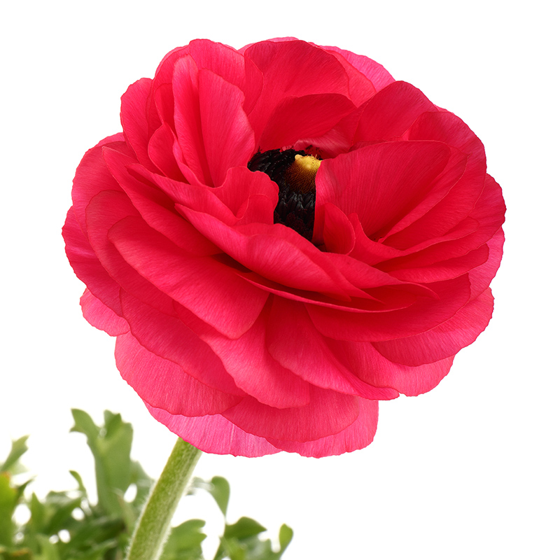 Ranunculus-red-4967