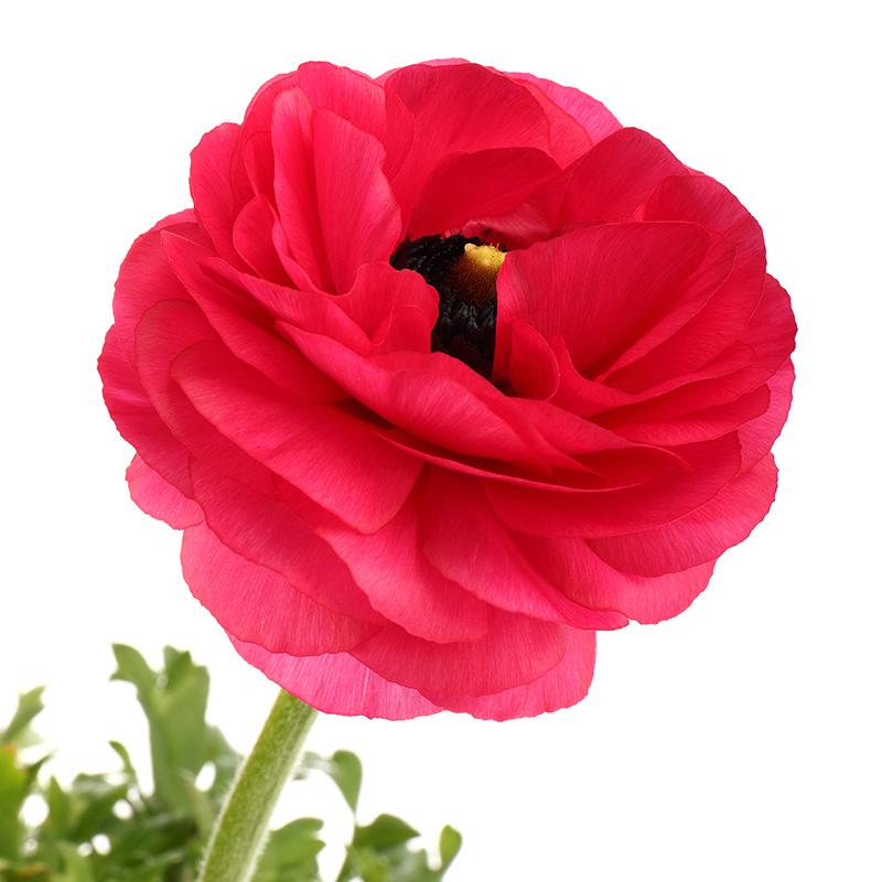 Ranunculus-red-4967