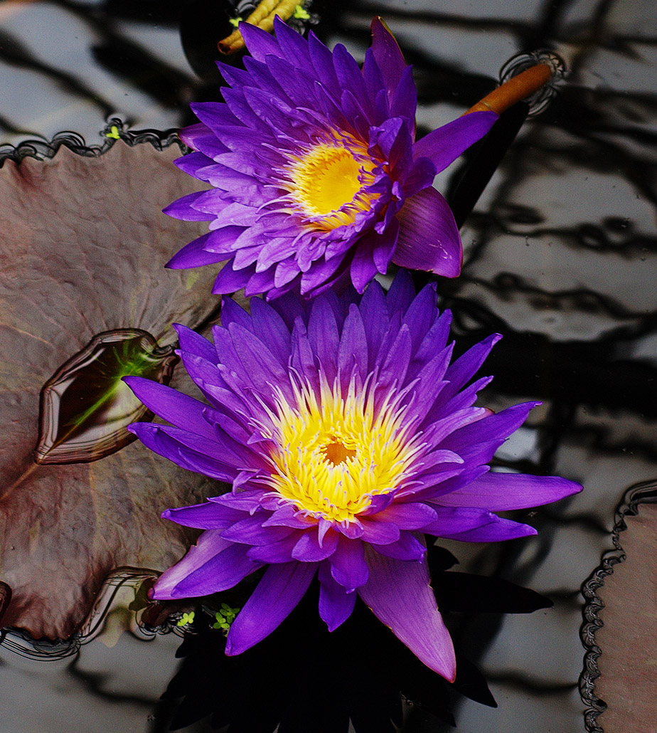 Waterlilies: Beautiful, Exotic, Mysterious…