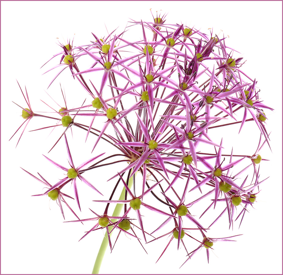 Allium Christophii: Star of Persia