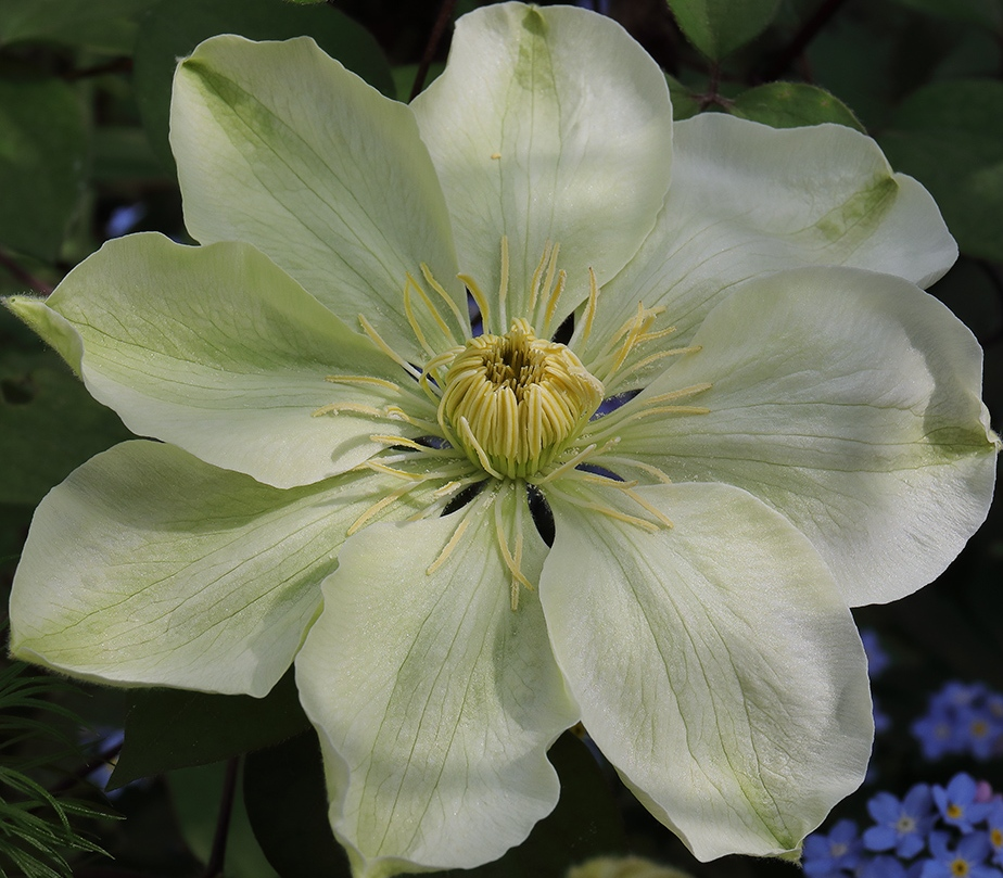 Flower of Clematis 'Guernsey Cream'