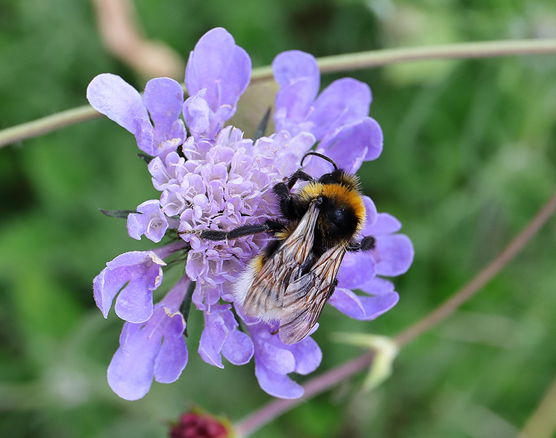 Bumblebee on a blue scabious flower.