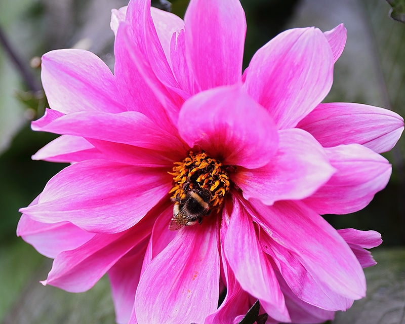 Bumblebee on a dahlia flower.