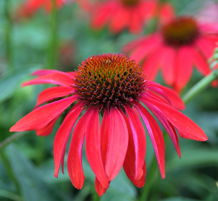 Red echinacea flower.