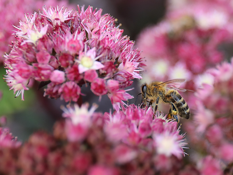 Honeybee on sedum flowers.