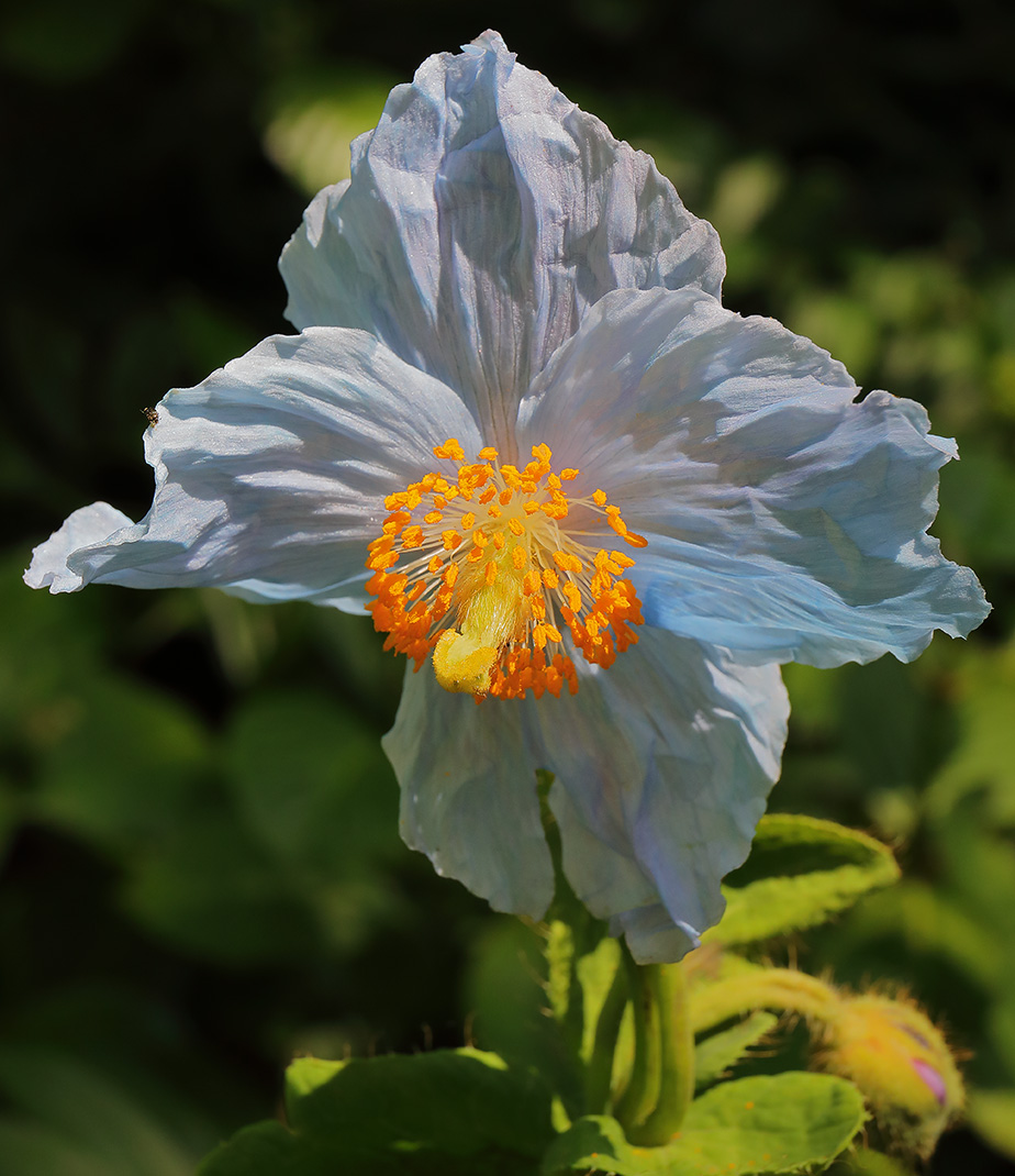 Soft Blue: Himalayan Blue Poppy