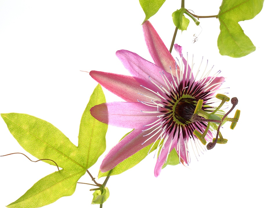 Purple Passion(flower)