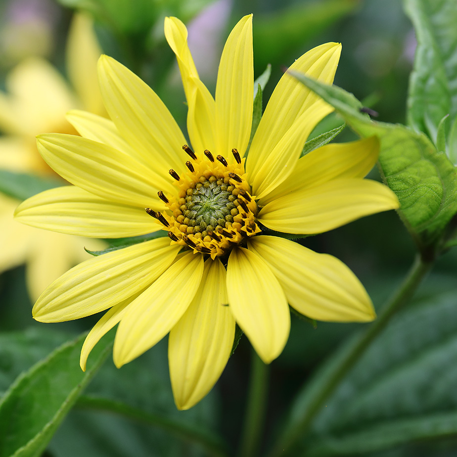 A Ray of Sunshine: Helianthus 'Lemon Queen'