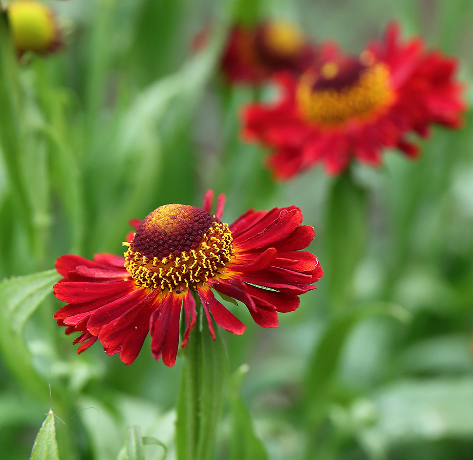 Red helenium flowers