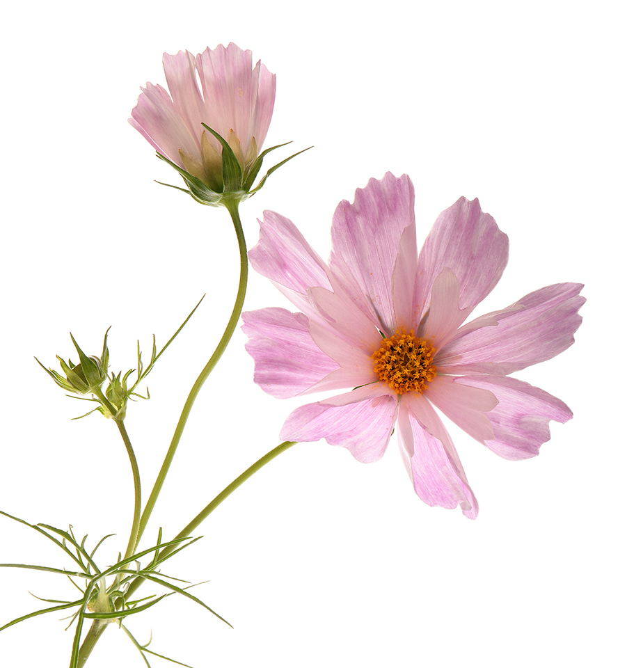 Flowering at Last: Cosmos