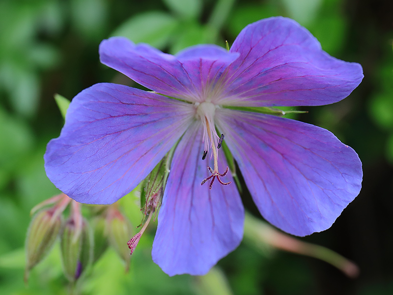 Blue geranium flower