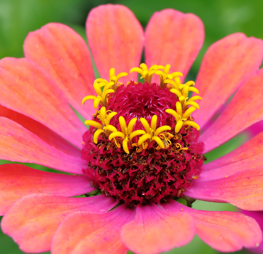 Growing Flowers for Photography: Zinnias