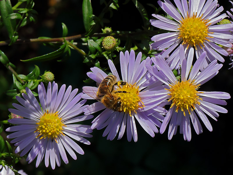 Bee on Michaelmas daisy